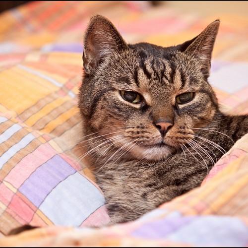 Kot w pościeli
