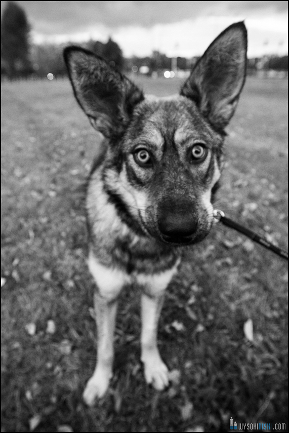 Zdjęcie młodego psa z wielkimi uszami